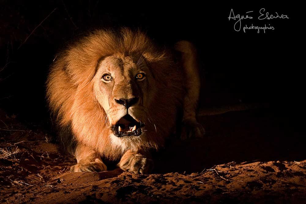 Le roi Louis - Kapama