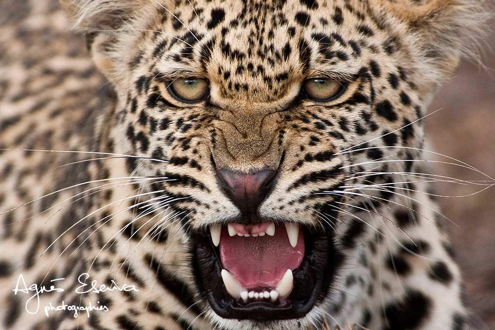 Jeune léopard - Sabi Sand