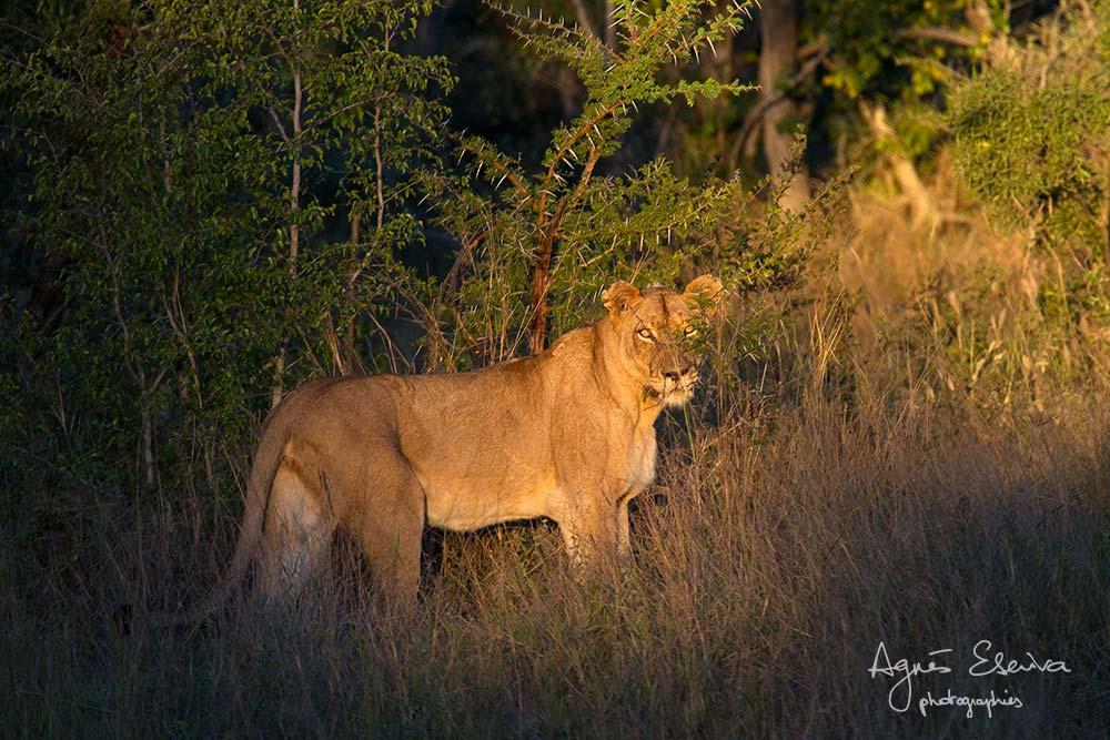 Lion près du point d'eau au soleil couchant- Sabi Sand