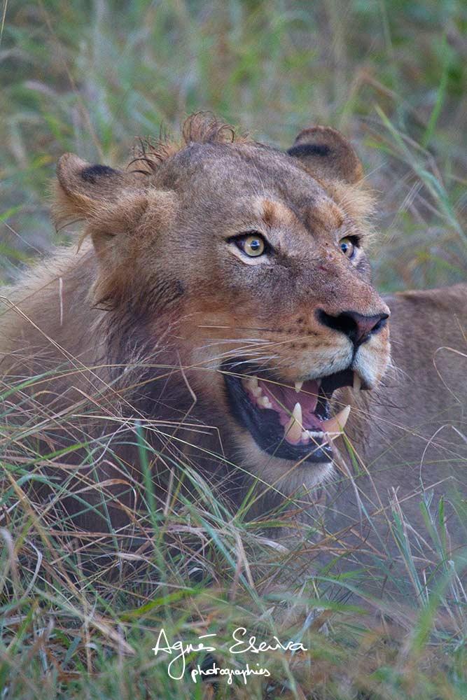Jeune lion - Sabi Sans