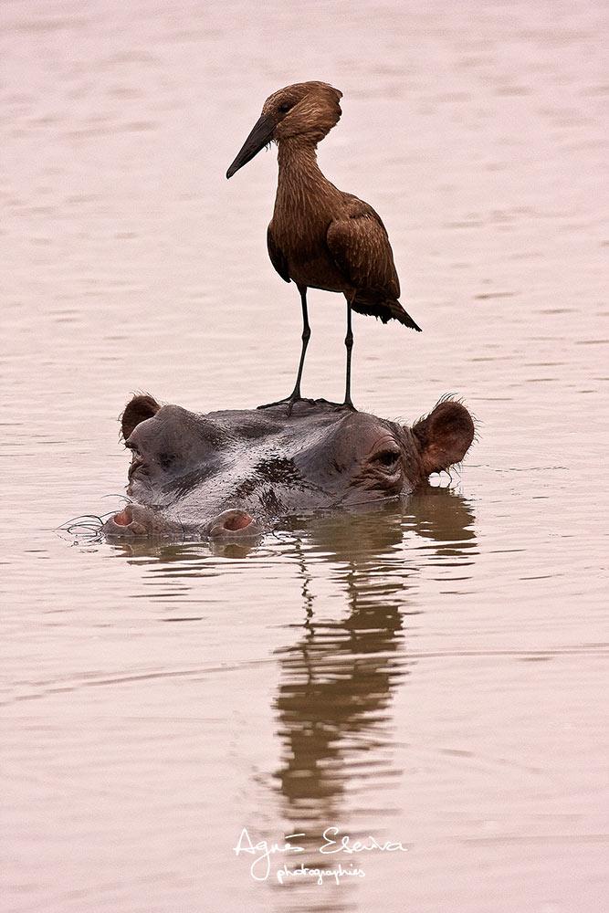 L'ombrette et l'hippo - Sabi Sand
