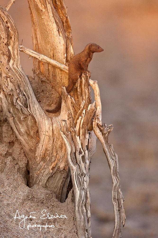 Mangouste naine - Sabi Sand