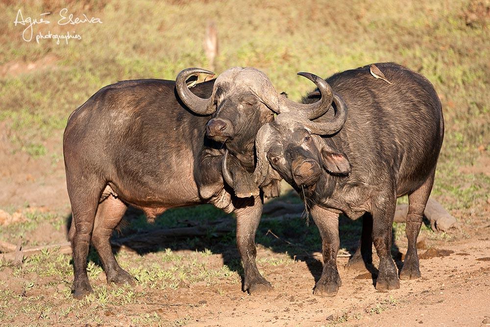 Combat de buffles -Timbavati