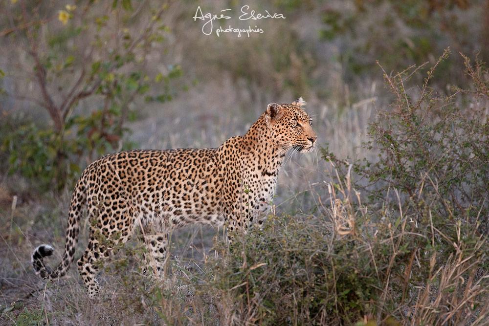 Mbali femelle -Timbavati