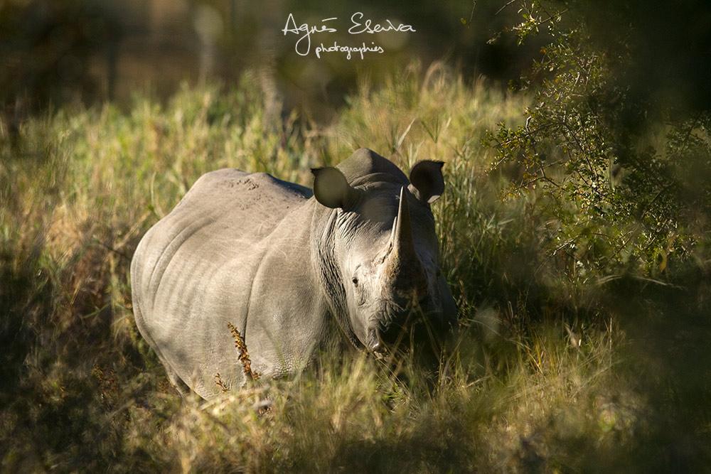 Rhinocéros -Timbavati