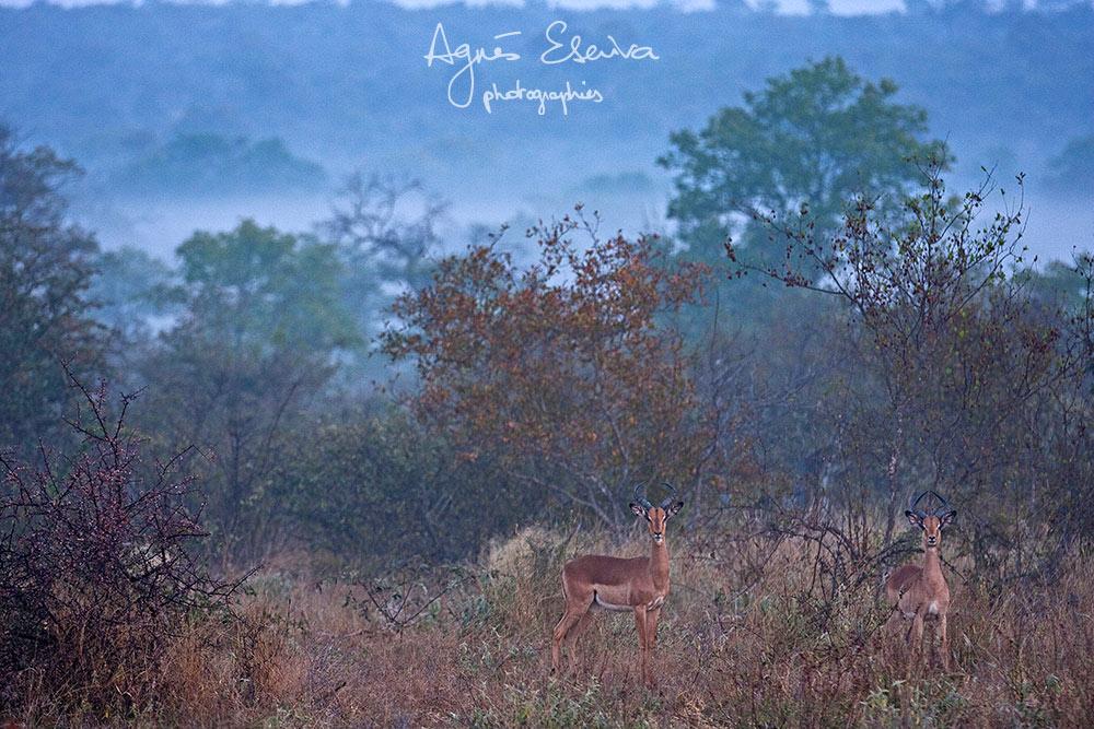 Impalas -Timbavati