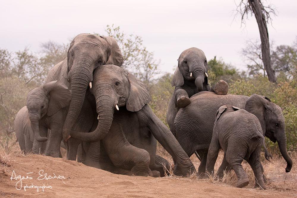 Jeux d'éléphants -Timbavati