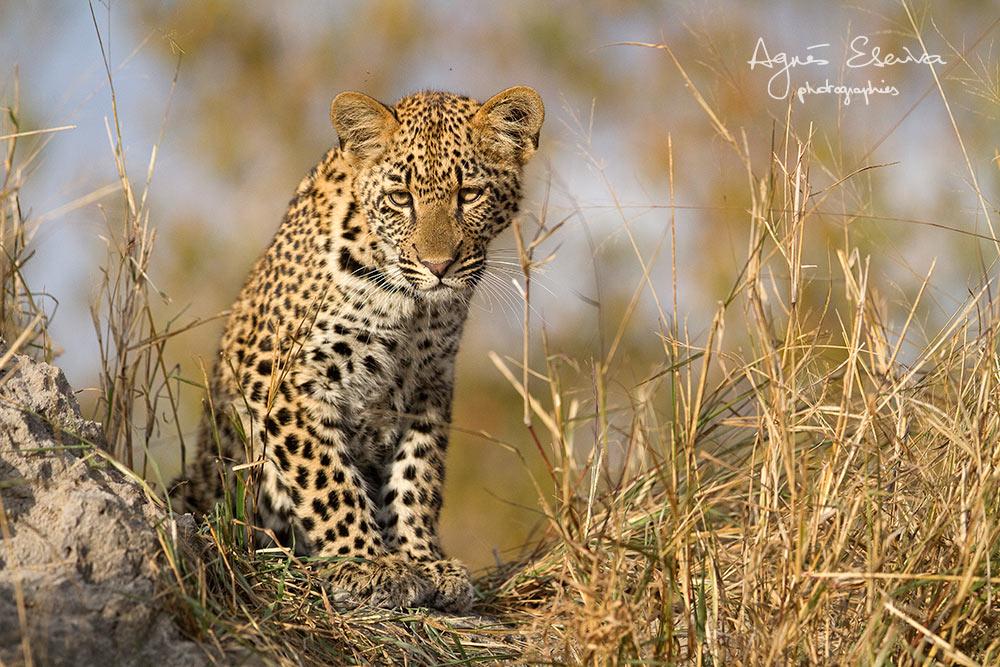 Petit léopard de Karula - Sabi Sand