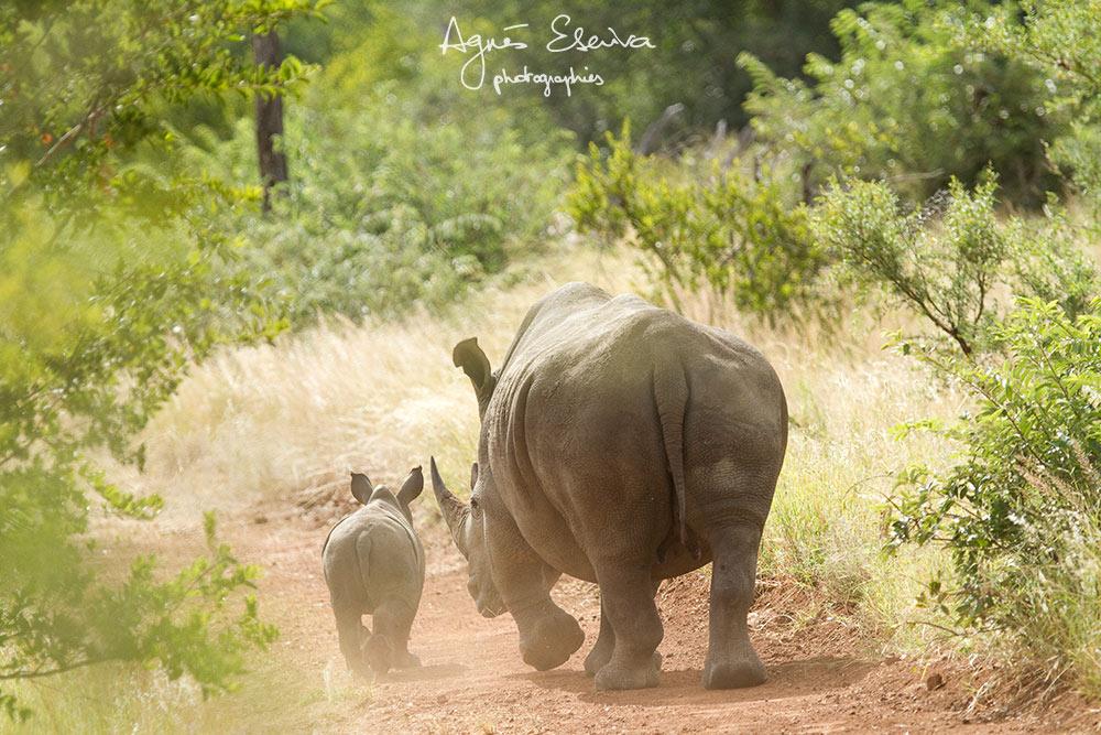 Maman rhino et son tout petit -Timbavati