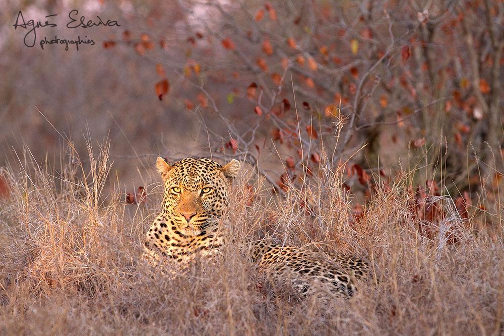 Jeune mâle léopard -Timbavati