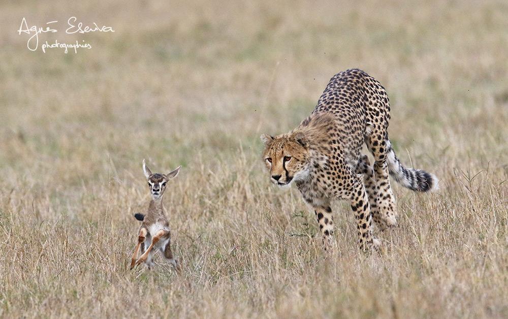 Leçon de chasse - Masaï Mara