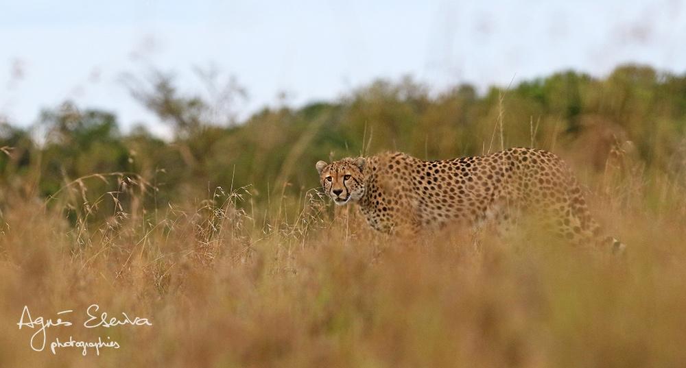 Jeune guépard (Maman Selenkei) - Masaï Mara