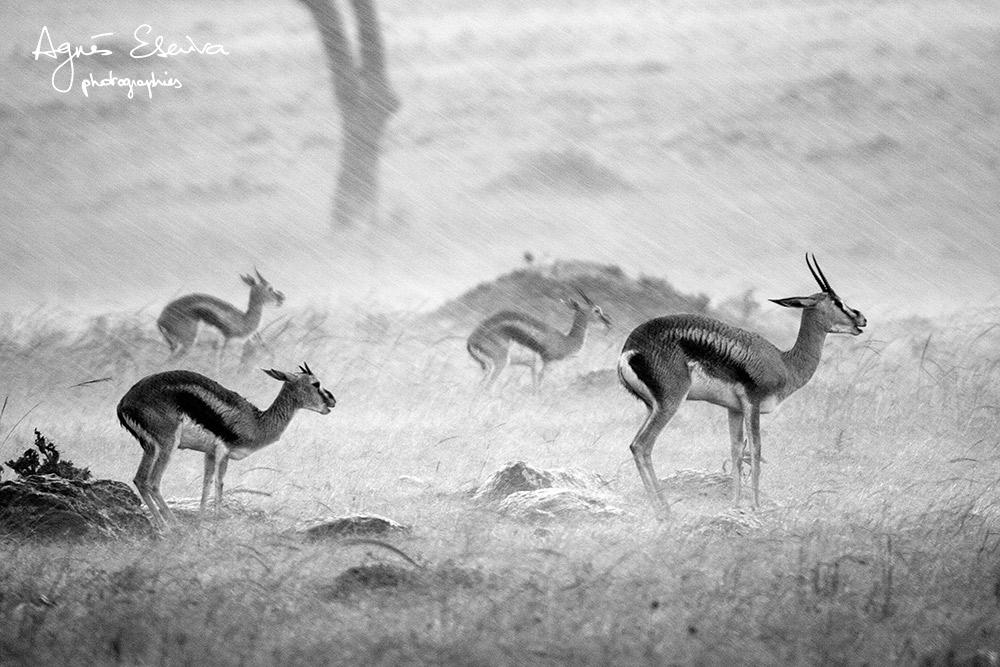 Gazelles sous la pluie - Masaï Mara