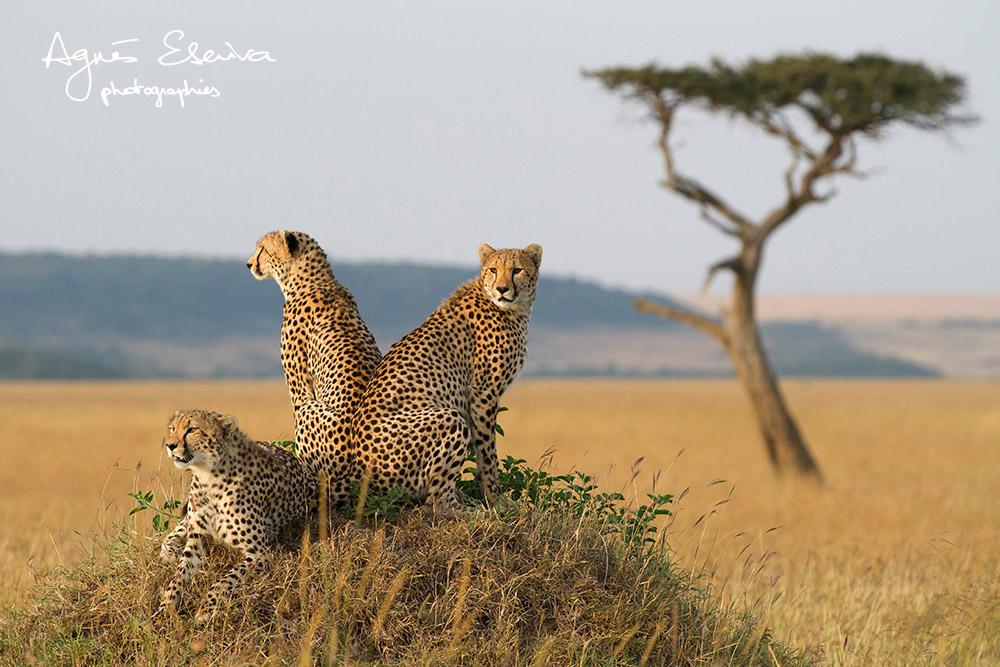 Trio de guépards - Masaï Mara