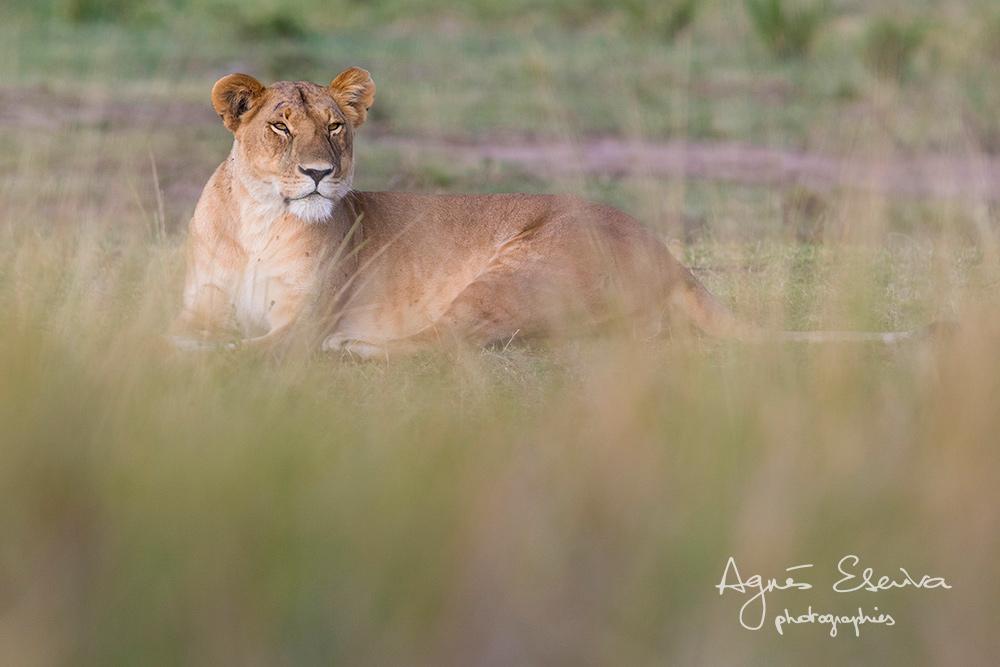 Dans les herbes - Masaï Mara