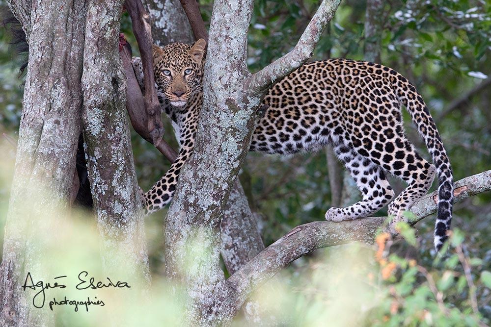Chiwawa aka Blue eyes, jeune mâle léopard, fils de Kaboso - Masaï Mara