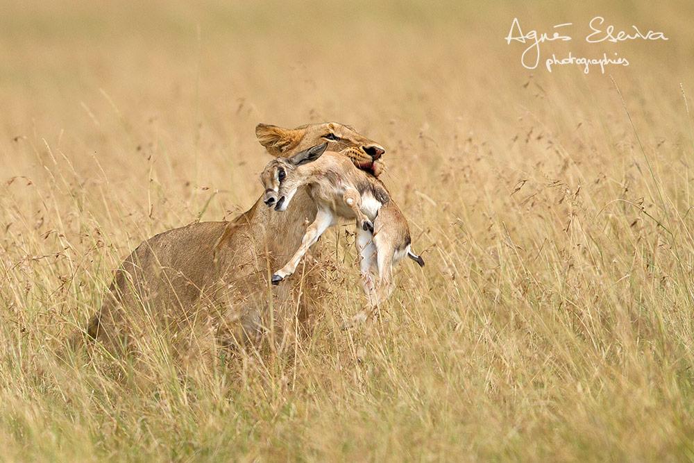 Partie de chasse - Masaï Mara