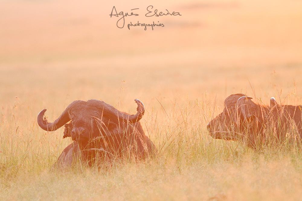Buffles - Masaï Mara