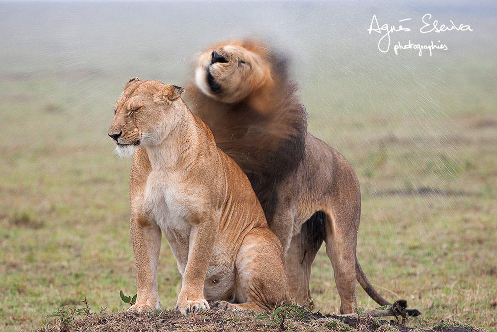 L'amour sous la pluie - Masaï Mara
