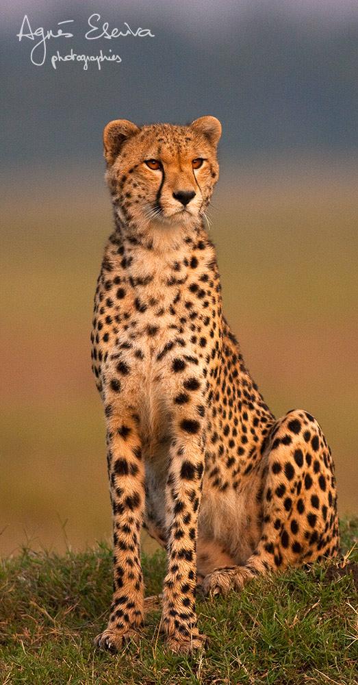 Amani la guéparde en 2011 - Masaï Mara