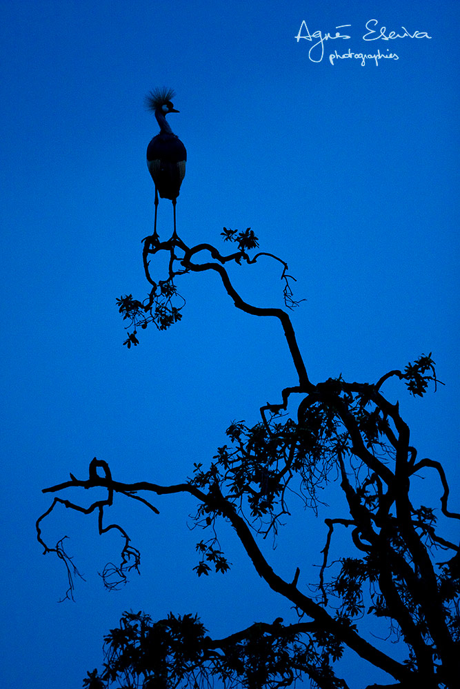 Ombre royale - Masaï Mara