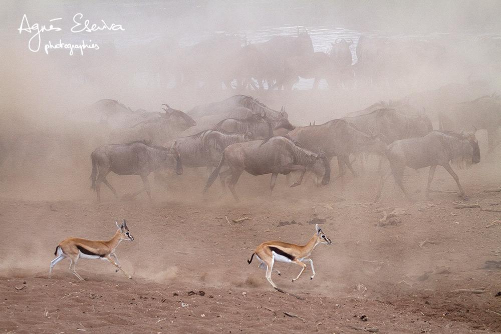 Migration - Masaï Mara