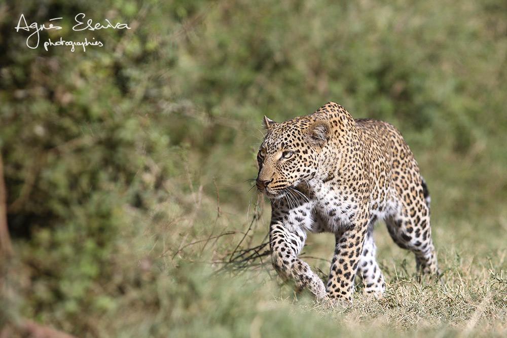 Kaboso female - Masaï Mara