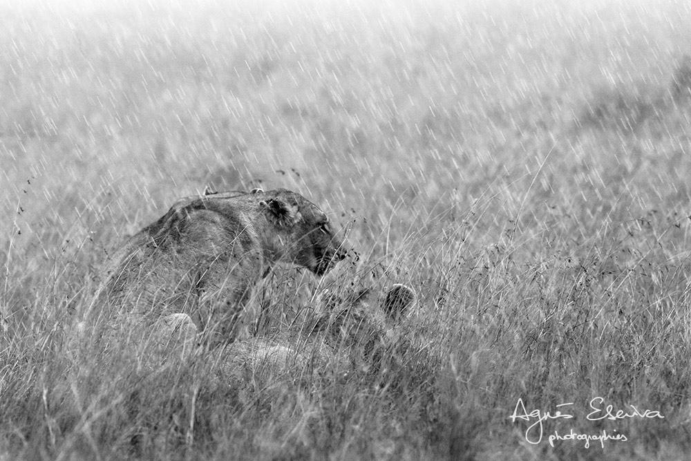 Les chats n'aiment pas l'eau - Masaï Mara