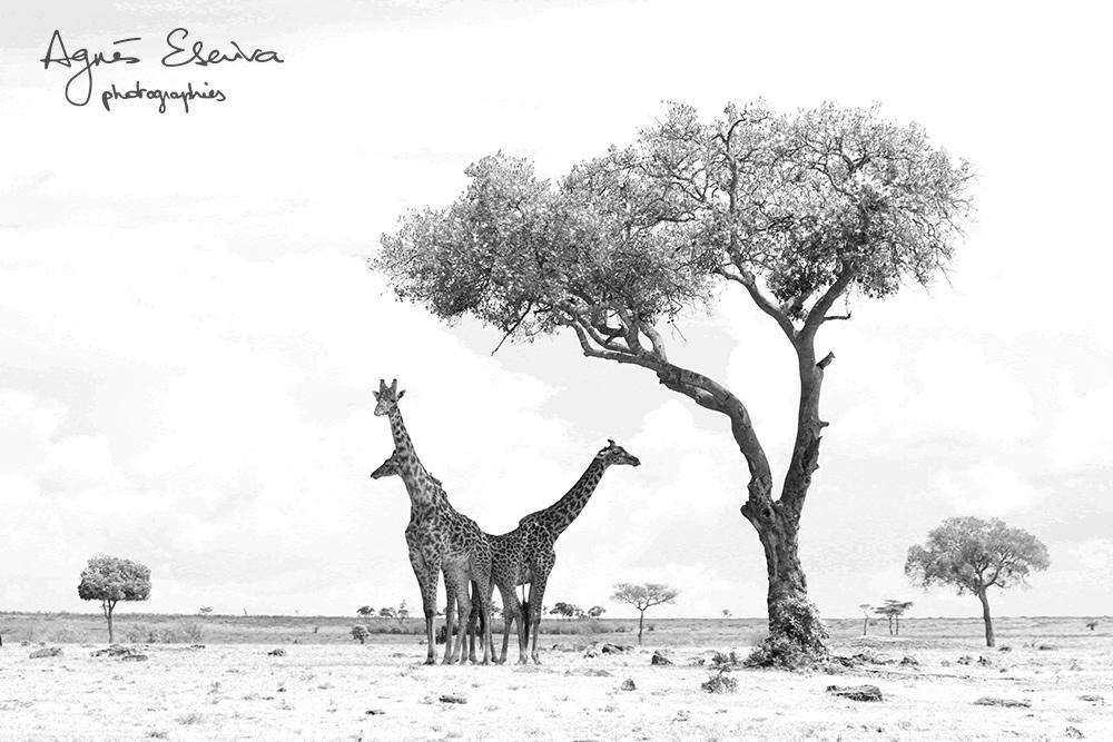 Girafes - Masaï Mara