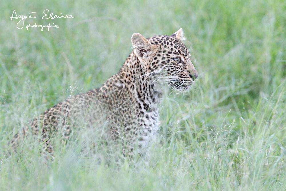 Jeune léopard (maman : Romi) - Masaï Mara