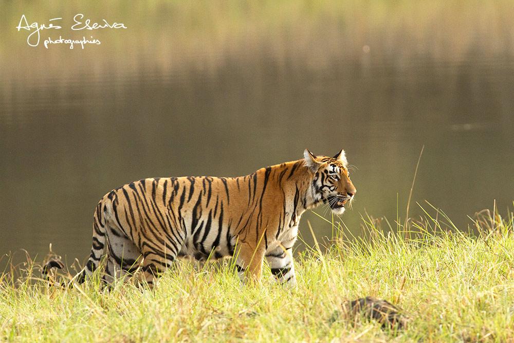 Tadoba-Inde-Tigresse