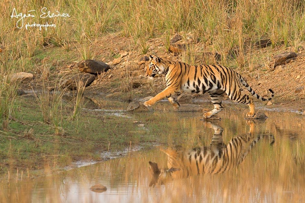Inde-Jeune tigre