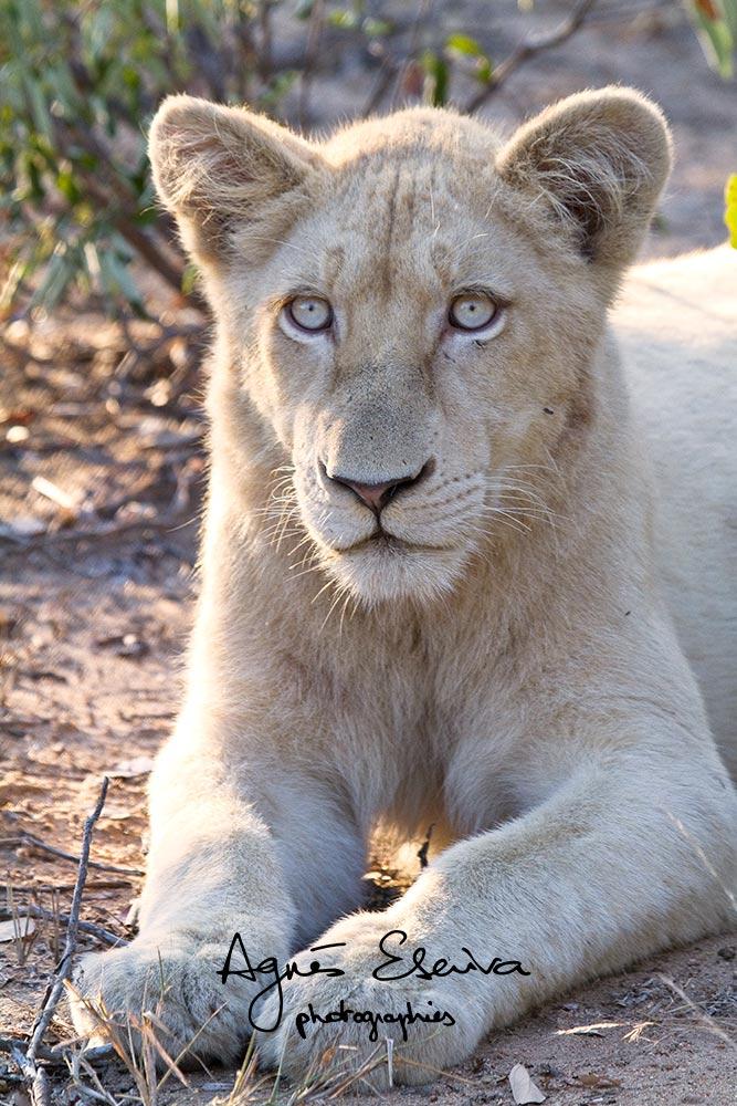 lion blanc-portrait