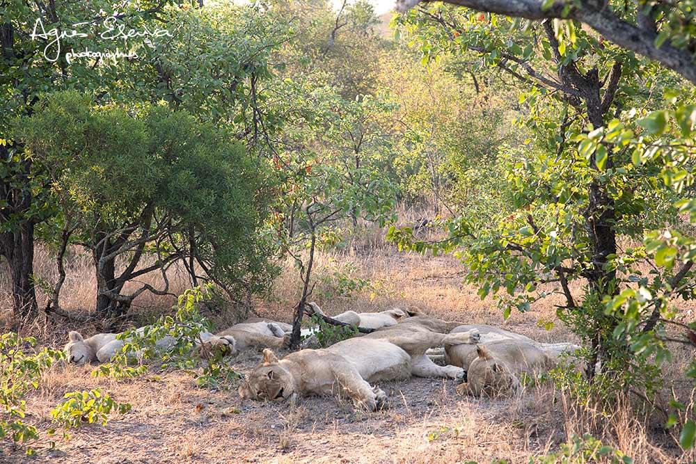 lions blancs Timbavati- la sieste