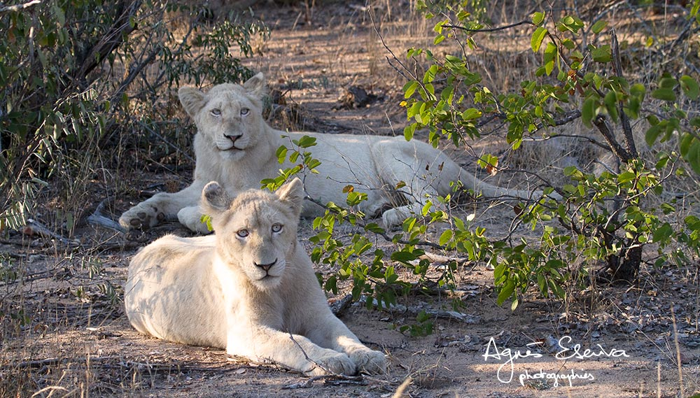 lions blancs Timbavati-les merveilles