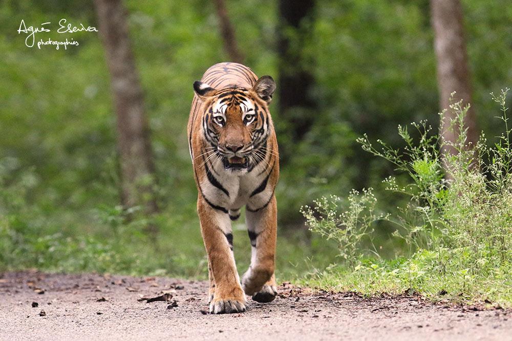 Inde-Tigresse