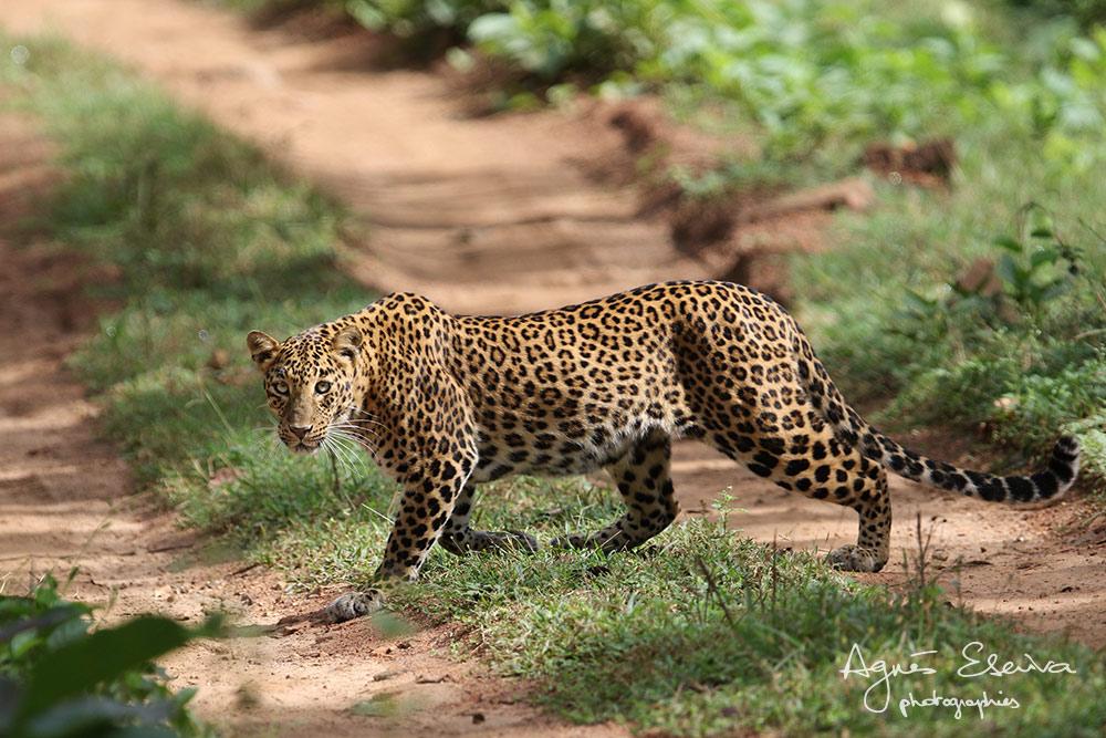 Inde-Léopard